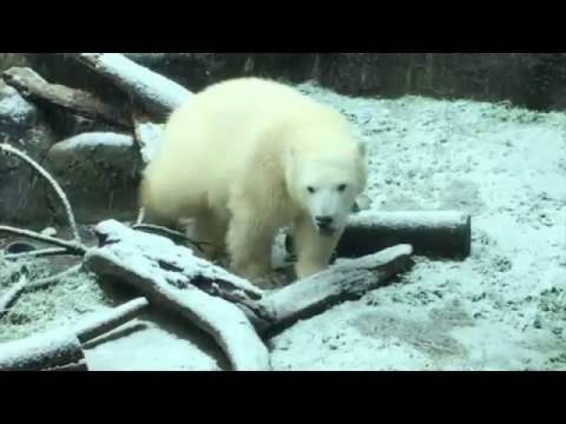 پہلی برفباری دیکھ کر برفانی ریچھ خوشی سے بے حال