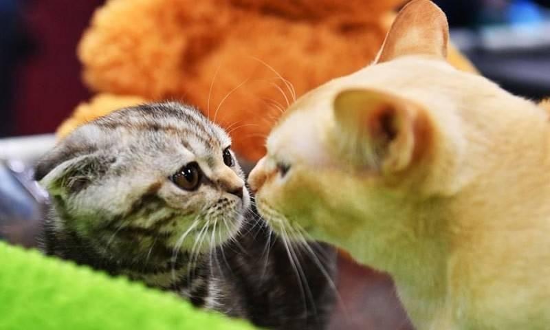 ماسکو میں کیٹ شو میں 1000 بلیوں کی شرکت