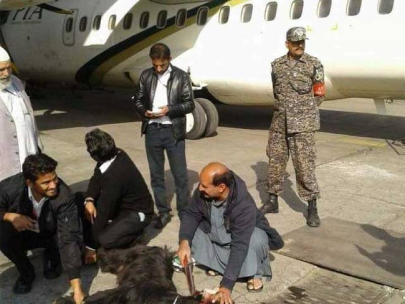 پی آئی اے نے پروازوں کو محفوظ بنانے کیلئے بکروں کا صدقہ دینا شروع کردیا