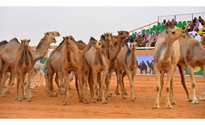 سعودی عرب میں خواتین کی بجائے اونٹوں کا مقابلہ حسن