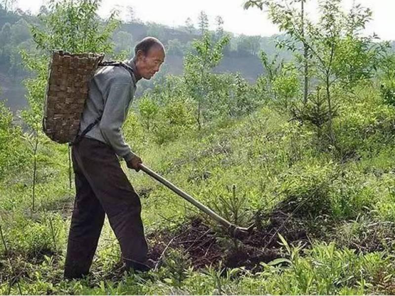 چینی شخص نے اپنی نوکری چھوڑ کر درخت لگانا شروع کردیئے