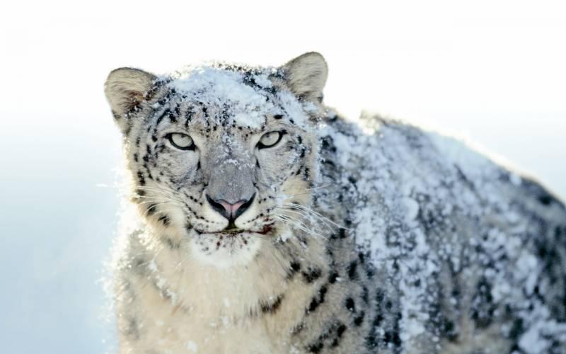 وادی ہنزہ میں دیہاتیوں نے خونخوار برفانی چیتا پکڑ لیا
