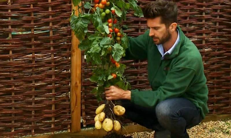 بیک وقت آلو اور ٹماٹر پیدا کرنے والا انوکھا پودا