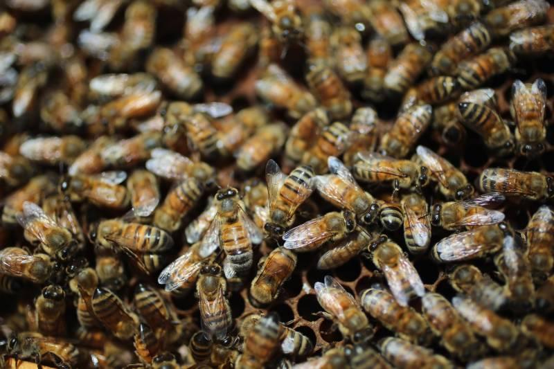 علامہ اقبال یونیورسٹی میں شہد کی مکھیوں کا حملہ، ایک شخص جاں بحق