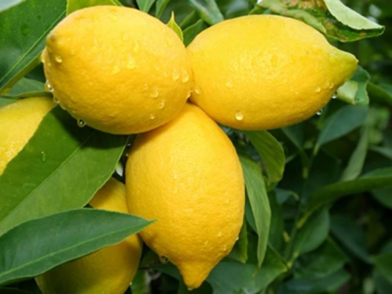 لیموں کینسر سمیت کئی بیماریوں سے بچاؤ میں مفید