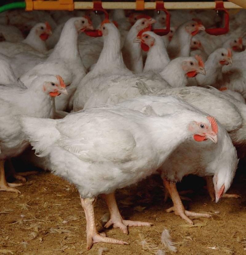 اسلام آباد کے سستے بازارمیں ٹیڑھی ٹانگوں والی مرغیاں برائے فروخت ،عوام پریشان