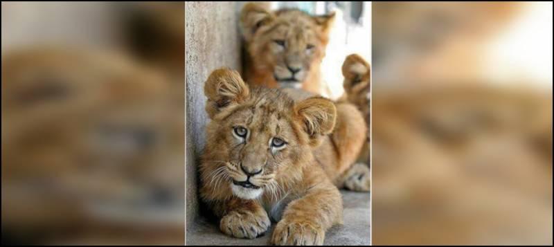 لاہور، چڑیا گھر میں شیرنی کاجل کے ہاں 2 بچوں کی پیدائش