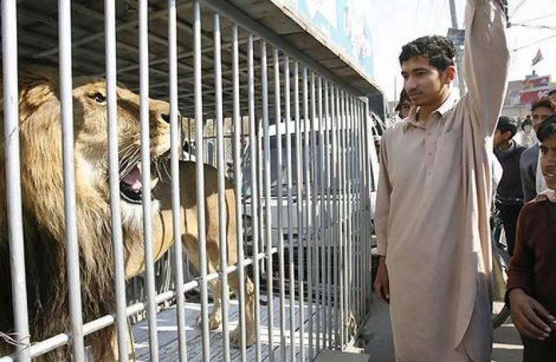 ہری پور میں ن لیگ کے جلسے میں اچانک اصل شیروں کی آمد