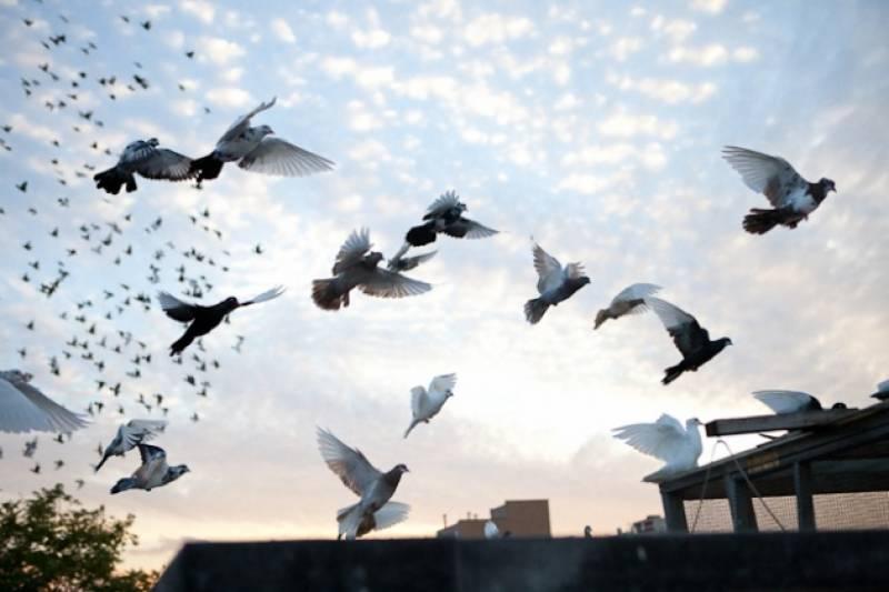 یوم پاکستان پریڈ کے موقع پر اسلام آباد میں کبوتر بازی پر پابندی