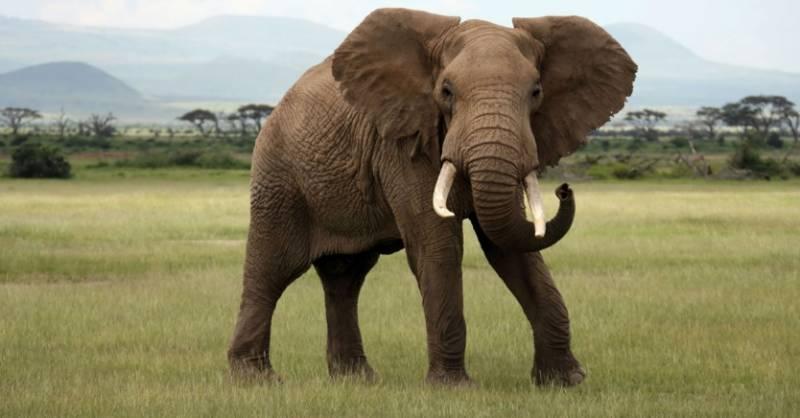 بھوکے ہاتھی نے کیلے چوری کر لیے
