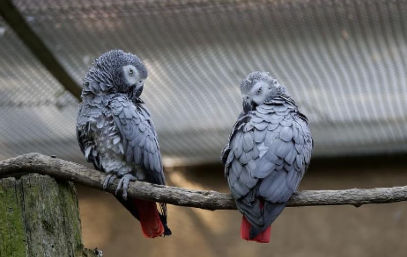 انگلینڈ کے پارک میں سیر کیلئے آنے والوں کو طوطوں کی گندی گالیاں