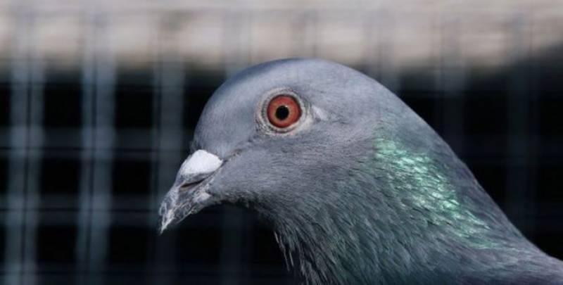 سڈنی ، آسٹریلیا میں امریکی کبوتر کو ہلاک کرنے کافیصلہ