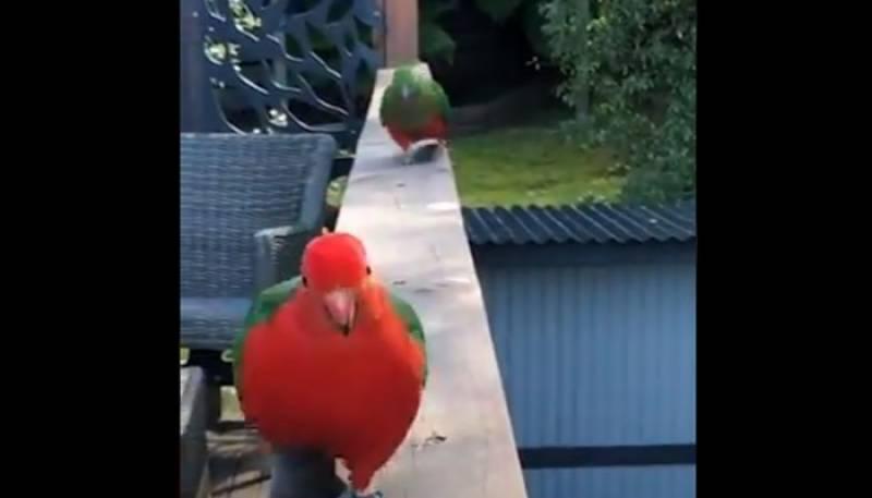 طوطے نے گرل فرینڈ سے ملوادیا