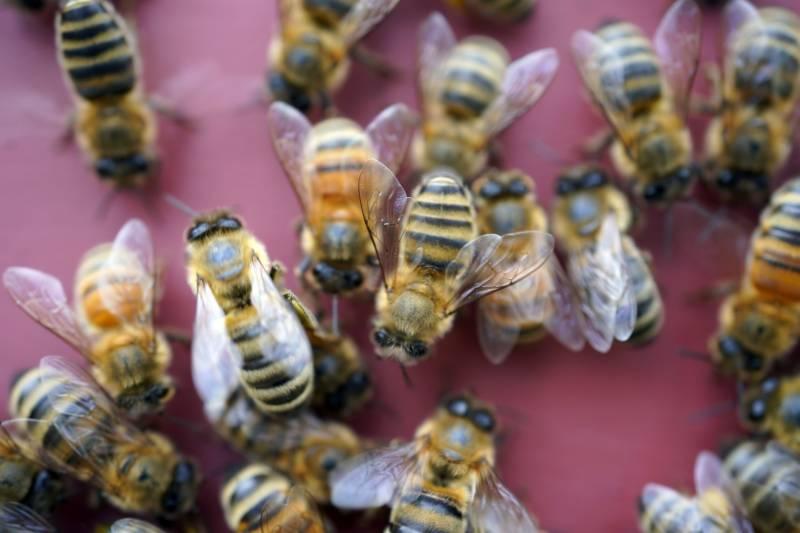 شہد کی مکھیوں کے ذریعے کووڈ 19 کی تشخیص