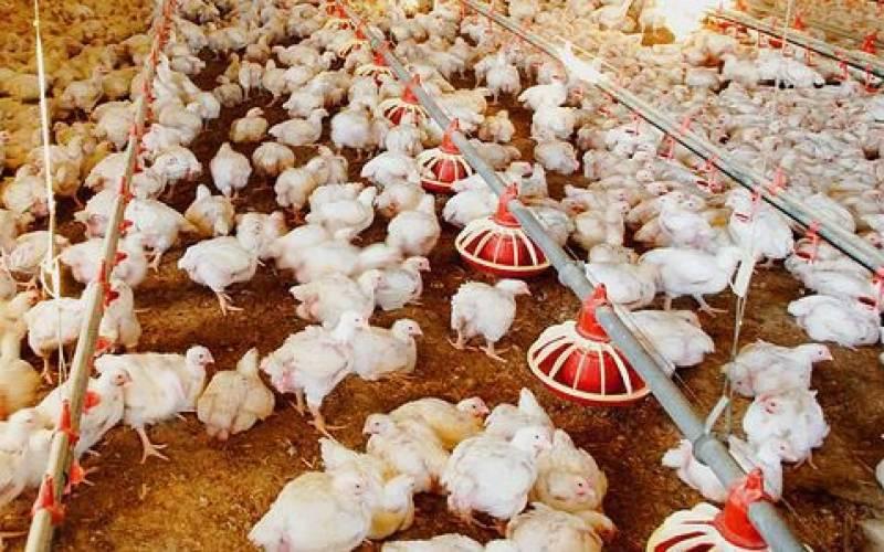 ماہرین نے ملک بھر میں مرغیوں میں نئے وائرس کی تصدیق کر دی