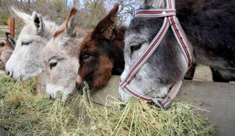 پاکستان میں گدھوں کی تعداد میں اضافہ ہوگیا ، اقتصادی سروے رپورٹ