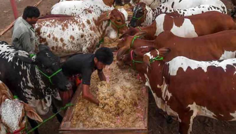 Lahore cattle market,Shahpurkanjra