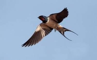 ابابیل زمین پر اترے بغیر مسلسل 10 ماہ تک پرواز کرتی ہے