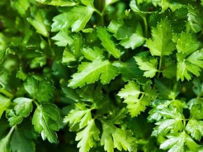 اگر یہ دو قسم کے پتے کھانے کی عادت اپنالیں تو زندگی میں کبھی پیٹ پر چربی جمع نہیں ہوگی