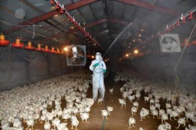 جاپان میں برڈ فلو، 3 لاکھ 36 ہزار بطخیں اور مرغیاں تلف