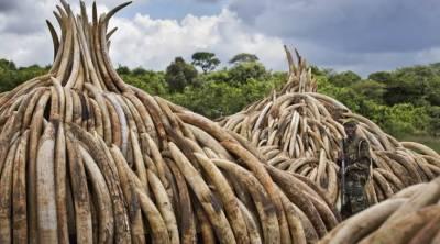 ویت نام میں ایک ٹن ہاتھی دانت برآمد