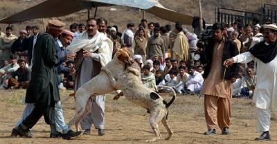 ڈسٹرکٹ مجسٹریٹ کوٹلی نے کتوں،مرغوں کی لڑائی پردفعہ144 پابندی لگادی