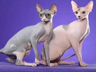 کینیڈا میں ابوالہول کے نام پر گنجی بلیوں کی فروخت