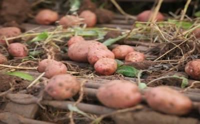 آلو کے 4 ہزار سال پرانے باغ کی دریافت نے دھوم مچا دی