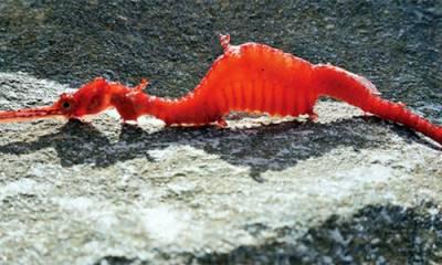 آسٹریلین ساحل پر سمندری ڈریگن کی نئی قسم دریافت