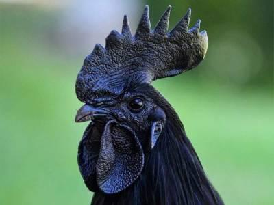 انڈونیشیا میں پائی جانے والی مرغی کو دنیا کی کالی ترین مرغی کہا جاتا ہے