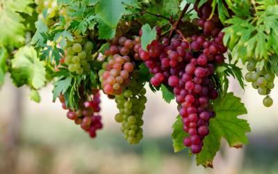 انگور بینائی کے لیے انتہائی مفید ،ماہرین