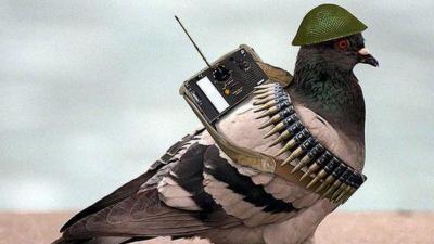 پاکستان کا جاسوس کبوتر بھارت سے فرار ، پورے ملک میں ہائی الرٹ