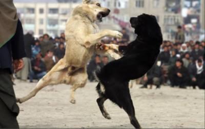 گجرات میں کتوں کی لڑائی پر لاکھوں کا جوا، پولیس خاموش تماشائی