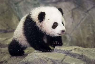 امریکہ میں پیدا ہونے والی مادہ پانڈا چین پہنچ گئی
