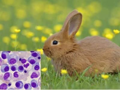 خرگوش کے وائرس سے بلڈ کینسر کے علاج میں پیش رفت