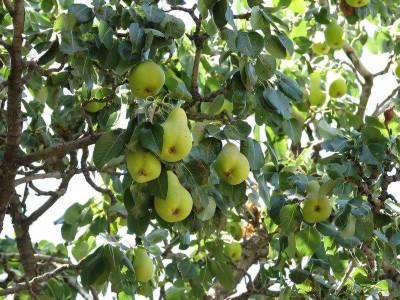 امرود کے پتوں کے ناقابل یقین فائدے جان کر آپ پتوں کو ضائع نہیں کریں گے