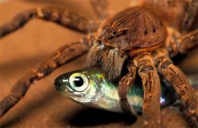 مکڑیاں سال بھر میں 40 کروڑ سے 80 کروڑ ٹن کیڑے مکوڑے، مچھلیاں اور دوسرے چھوٹے جانوروں کو کھا جاتی ہیں
