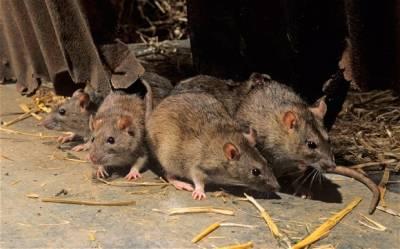چوہوں کو گھر سے بھگانے کاکے آسان اور گھریلو طریقے