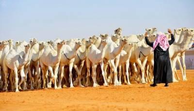 سعودی عرب، اونٹوں کے سالانہ مقابلہ حسن میں 50ہزاراونٹ شریک