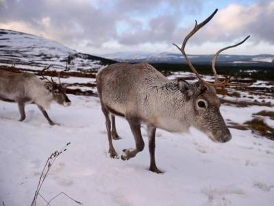 ناروے میں خطرناک بیماری کی روک تھام کے لیے 2000 قطبی ہرنوں کو ہلاک کرنے کا فیصلہ