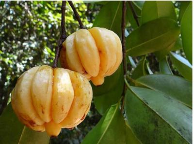 گردوں کی پتھری سے نجات کے لیے پھل تیار