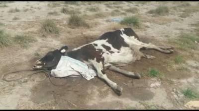 محکمہ لائیو سٹاک کی غفلت سے سینکڑوں مویشی ہلاک ہو چکے ہیں ،اہلِ علاقہ