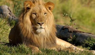 شیر پیدا ہونے کے بعد 7 دن تک اندھا کیوں رہتا ہے؟ شیر کے بارے دلچسپ معلومات