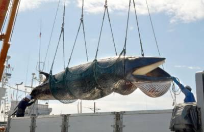 جاپان نے وہیل مچھلی کے شکار کی اجازت دیدی