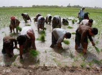 بدین میں چاول کی بڑے پیمانے پر کاشت شروع ہوگئی