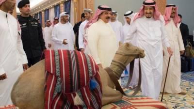 سعودی عرب میں اونٹوں کے لیے سرکاری سطح پر پہلے کلب کا قیام