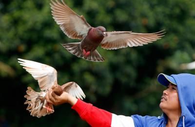انڈونیشیا میں کبوتر بازی کا شوق طلاق کی سب سے بڑی وجہ قرار