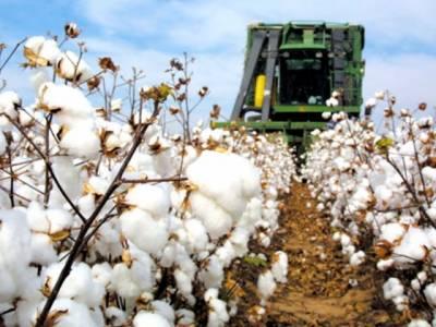 کپاس کی فصل کو نقصانات ، روئی کی قیمت میں اضافہ ہوگیا