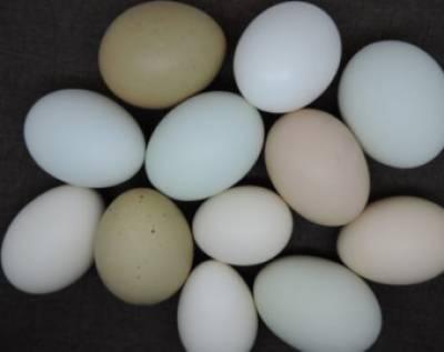 ہالینڈ سے درآمد مضر صحت انڈے یورپی مارکیٹ سے اٹھالیے گئے