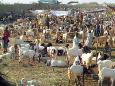 قلات سے بڑے پیمانے پر قربانی کے جانوروں کی اسمگلنگ جاری